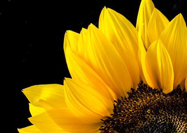عکس پروفایل گل آفتابگردان