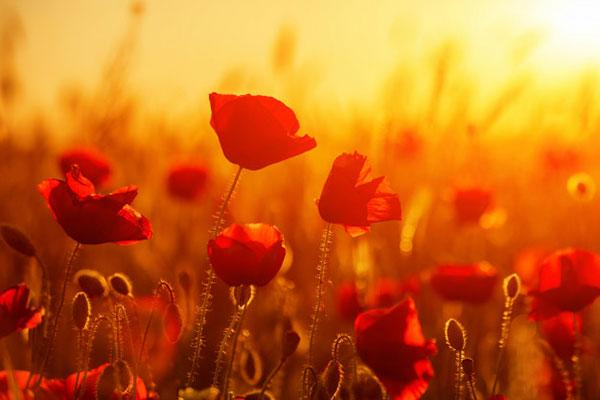 عکس پروفایل گل شقایق