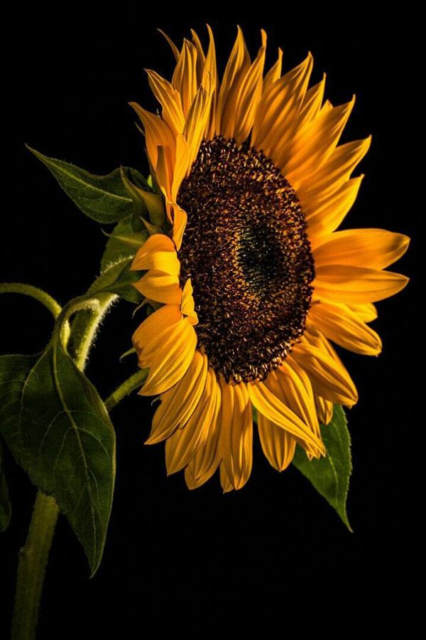 عکس گل آفتابگردان برای تصویر زمینه