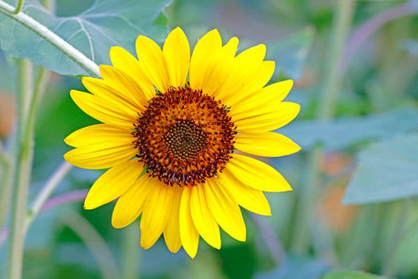 عکس گل آفتابگردان برای طراحی