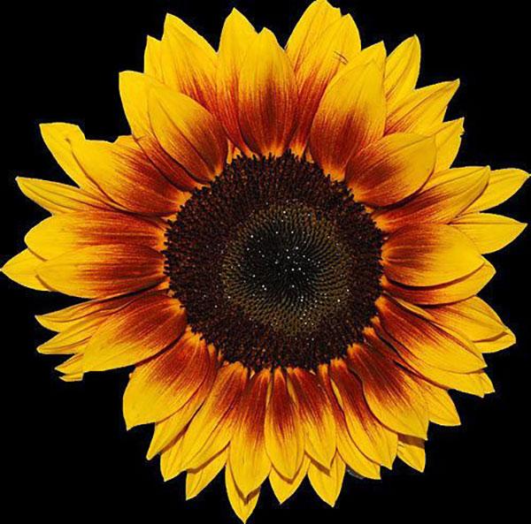 عکس گل آفتابگردان برای نقاشی
