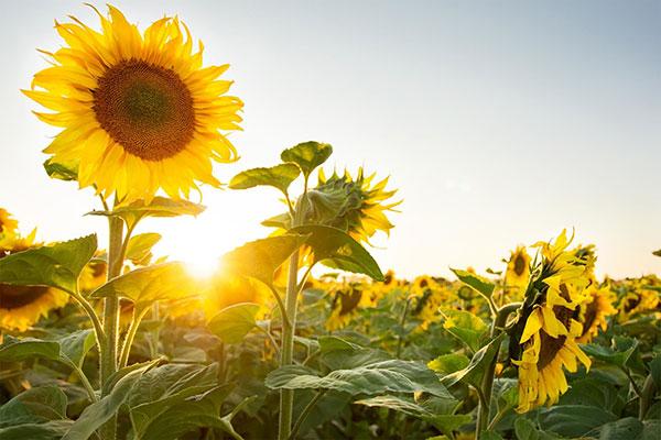 عکس گل آفتابگردان زیبا