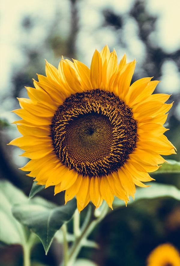 عکس گل آفتابگردان فانتزی