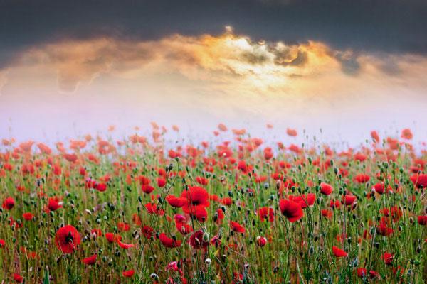 عکس گل شقایق با کیفیت اچ دی