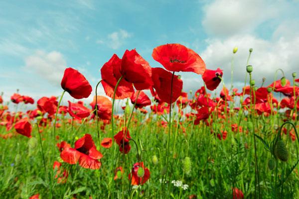 عکس گل شقایق با کیفیت