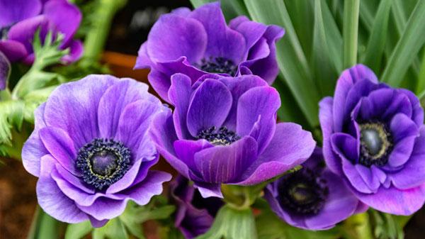 عکس گل شقایق بنفش