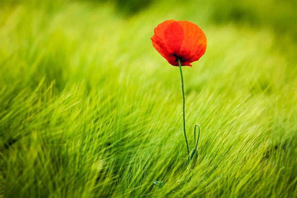 عکس گل شقایق سرخ