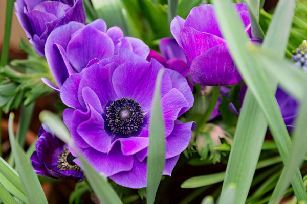 عکس گل شقایق نعمانی