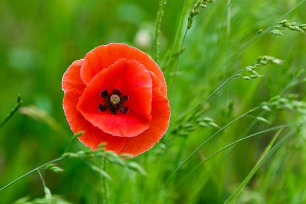 عکس گل شقایق وحشی