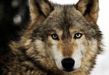 اطلاعاتی در مورد گرگ ها