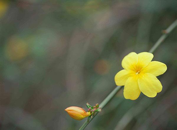 عکس گل یاس زرد