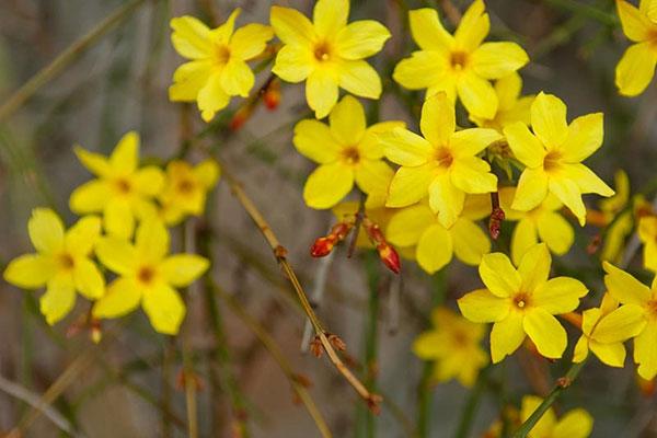 تصاویر گل یاس زرد