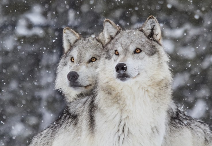 دانستنی هایی درباره گرگ ها