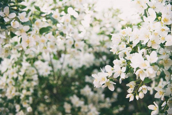 پروفایل گل های یاس