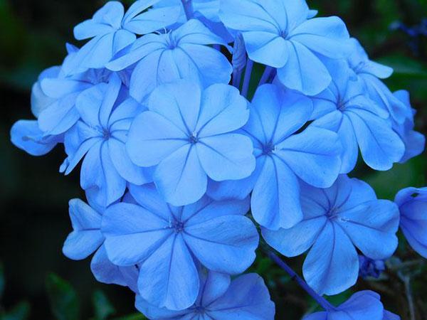 تصویر گل یاس آبی