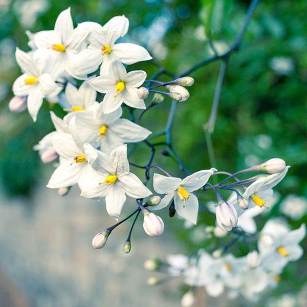 عکس گل یاس برای پروفایل
