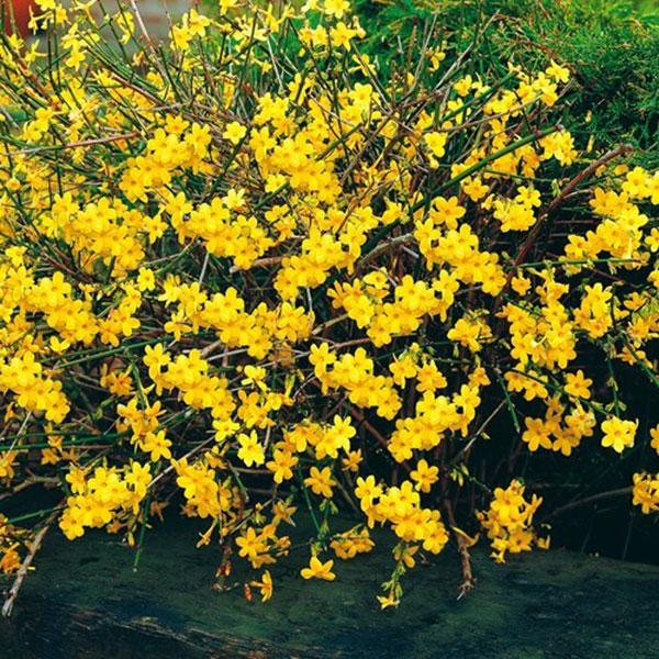 پروفایل گل های یاس زرد