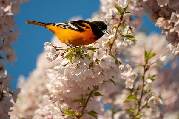 تصویر زیبای گل و بلبل