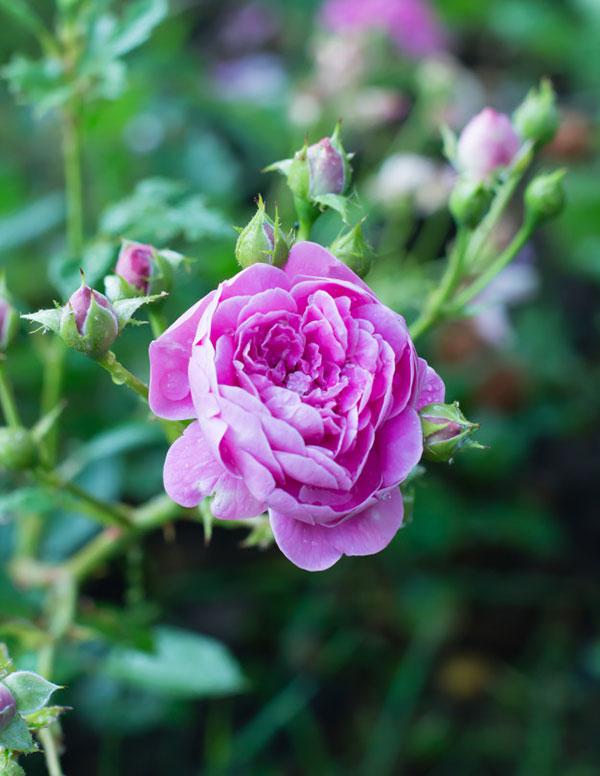 پروفایل گل های محمدی