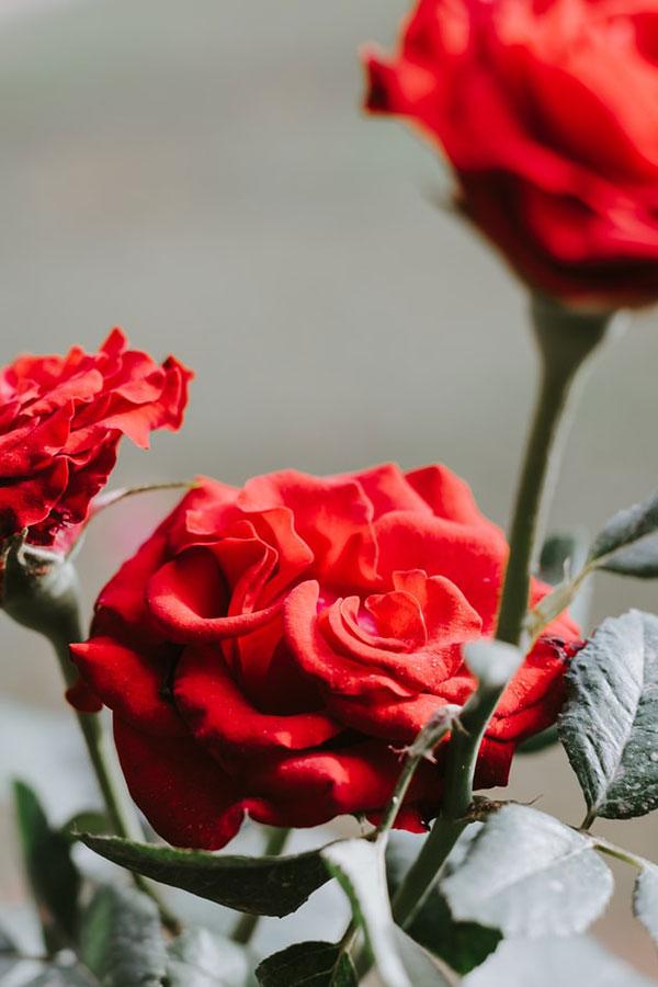 پروفایل گل محمدی قرمز