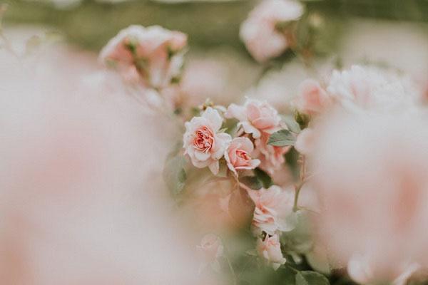 عکس گل محمدی سفید