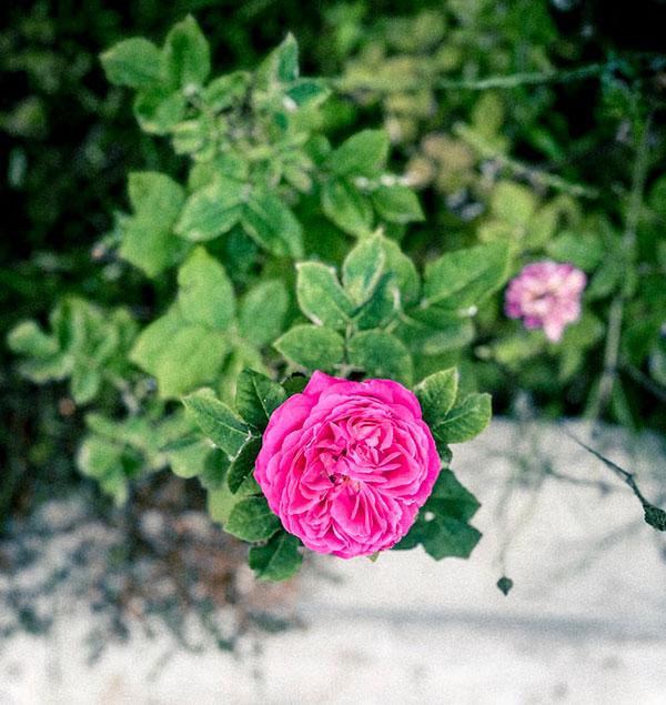 پروفایل گل های محمدی صورتی
