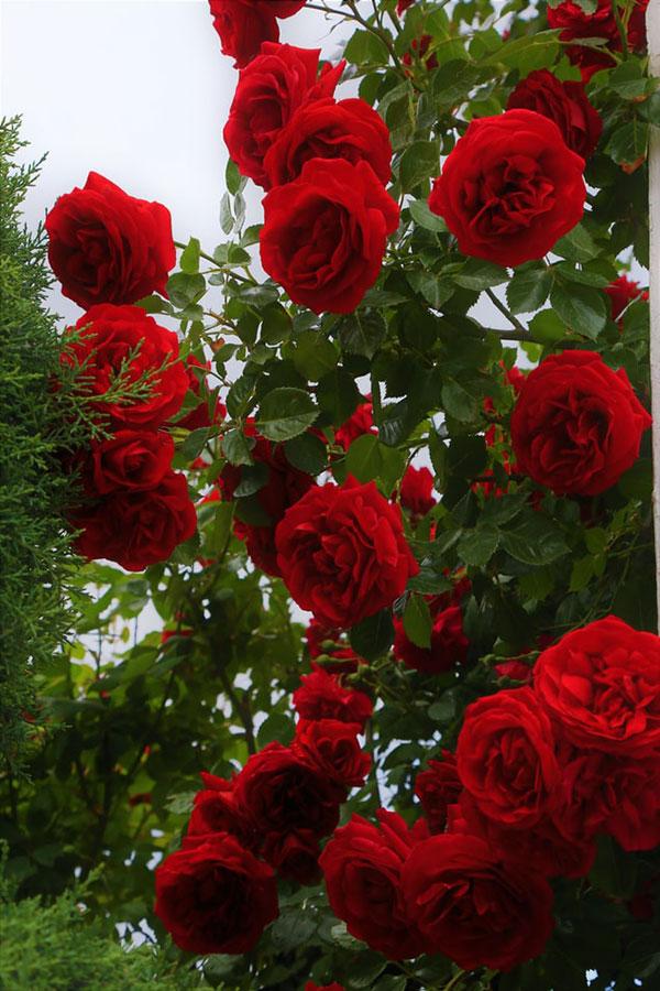 پروفایل گل های محمدی قرمز