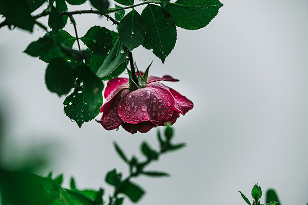 عکس گل محمدی زیبا