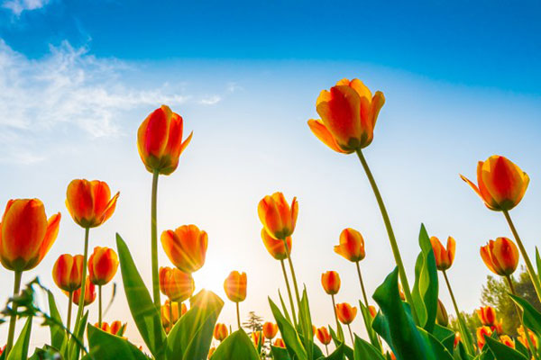 تصاویر دشت گل لاله