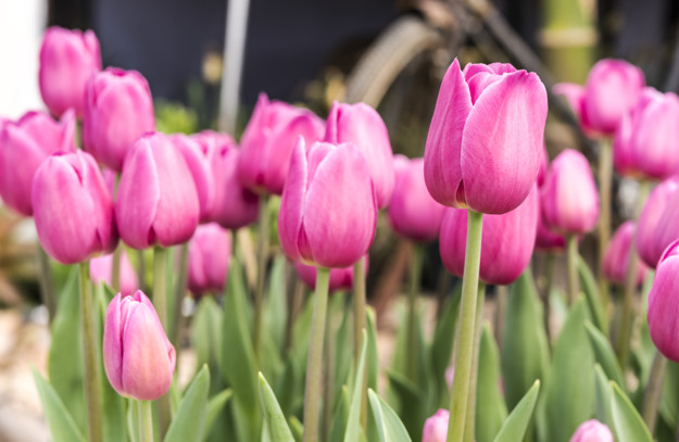 تصاویر پروفایل گل لاله صورتی