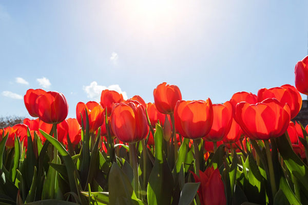 تصاویر گل لاله قرمز