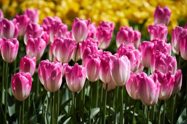 تصاویر گل لاله