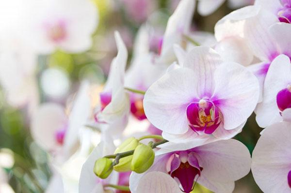 پروفایل گل ارکیده سفید