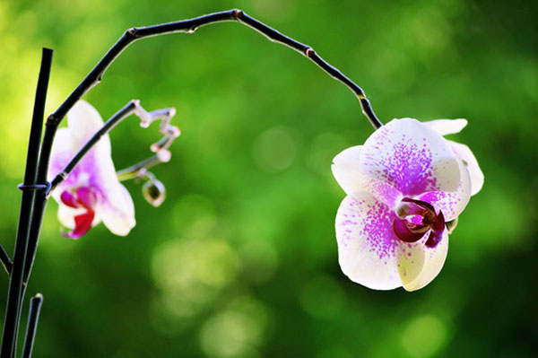 عکس پروفایل گل ارکیده