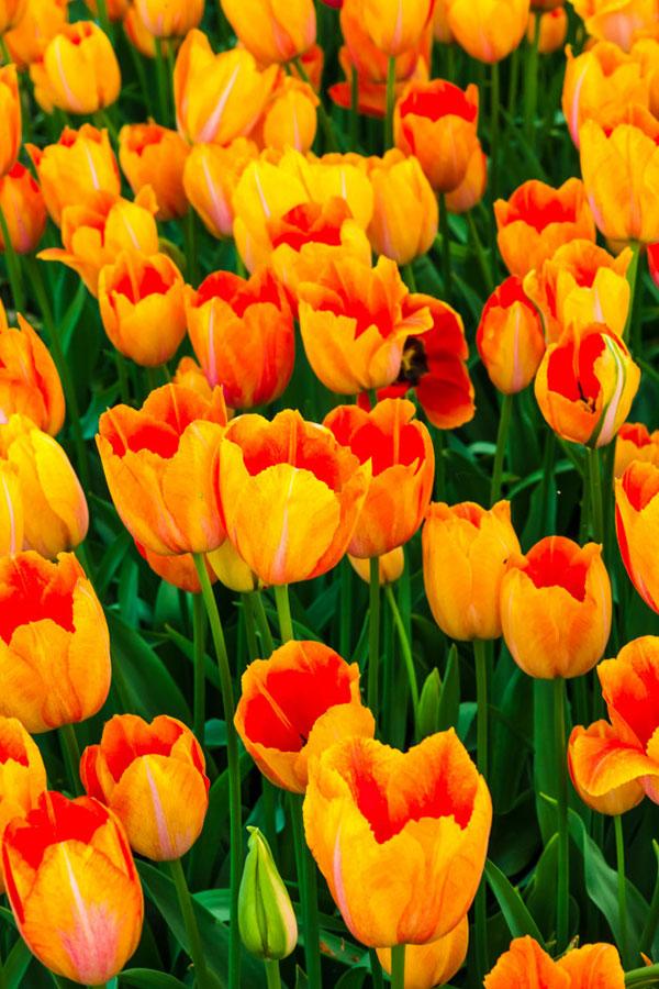 تصویر گل لاله زرد