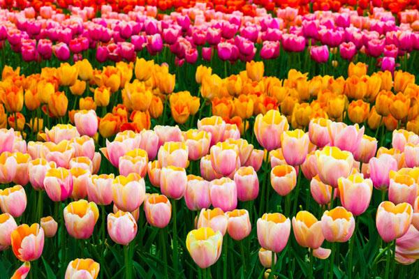 تصاویر انواع گل لاله