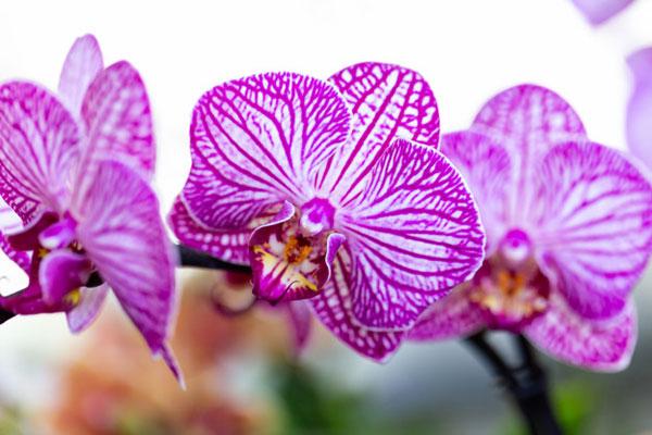 عکس گل ارکیده با کیفیت بالا