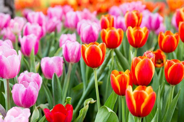 عکس دشت گل های لاله