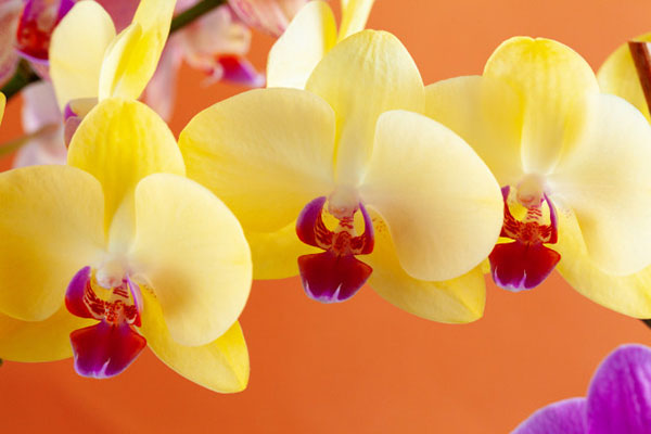 عکس گل ارکیده برای پروفایل