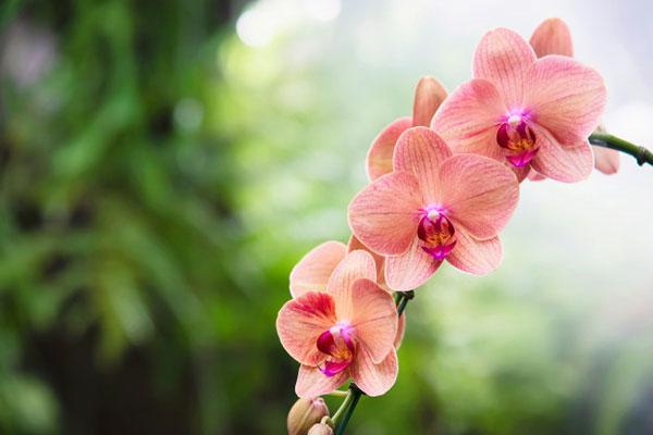 عکس گل ارکیده زیبا