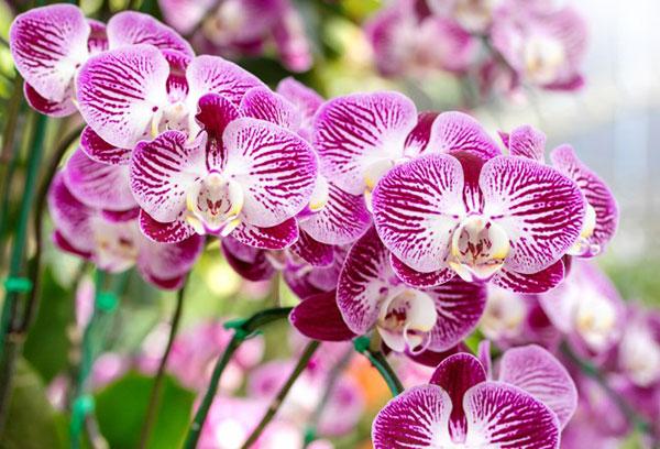 گل ارکیده طبیعی