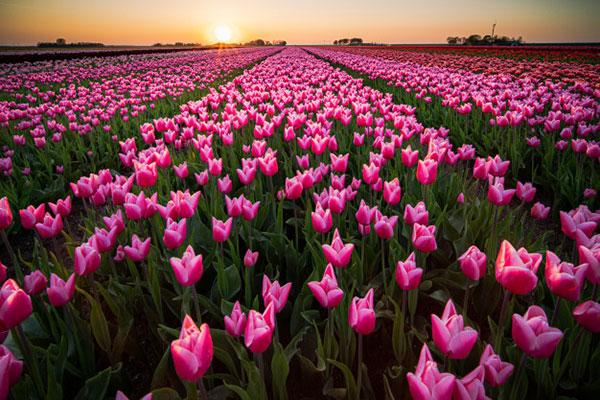 عکس گل های لاله با کیفیت اچ دی