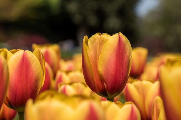 عکس گل لاله برای پروفایل
