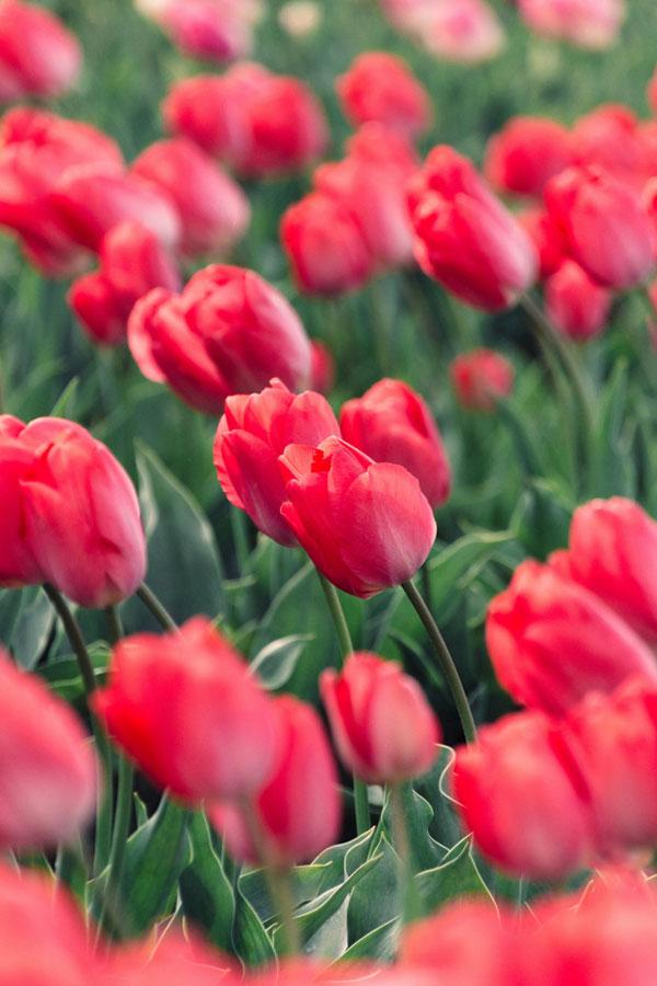 عکس با کیفیت گل های لاله