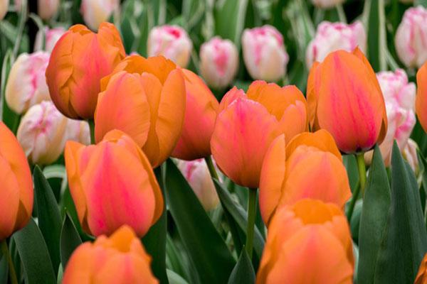 عکس زمینه گل های لاله