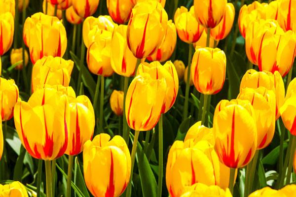پروفایل گل های لاله زرد