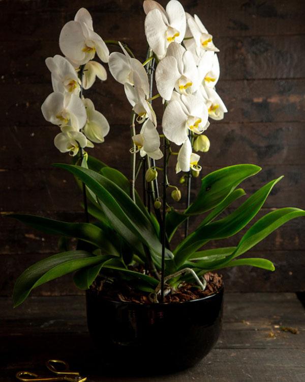 عکس گل ارکیده سفید