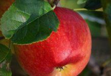 انشا در مورد سیب از زبان خودش