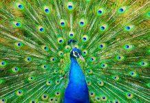 دانستنی ها و حقایق جالب درباره طاووس ها